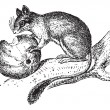 Cтоковый вектор: Dormouse or Glis glis, vintage engraving