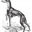 Royalty-Free Stock Vectorielle: Greyhound, vintage engraving