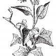 Ivy or Hedera sp., vintage engraving - ベクター素材ストック