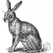 Постер, плакат: Hare or Lepus sp vintage engraving