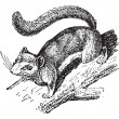 Dormouse or Glis glis, vintage engraving - Vettoriali Stock