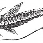 Loricariinae, vintage engraving — Stock Vector #11006831