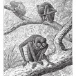 Red Slender Loris or Loris tardigradus, vintage engraving - Vettoriali Stock
