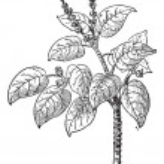 Manchineel or Hippomane mancinella, vintage engraving — Stock Vector #11008296