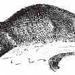 Stock vektor: Mongoose or Herpestidae, vintage engraving