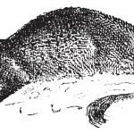 Mongoose or Herpestidae, vintage engraving — Stock Vector