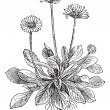 Stock vektor: Common Daisy or Bellis perennis, vintage engraving