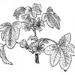 Common Mallow or Malva sylvestris, vintage engraving — Векторная иллюстрация