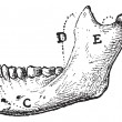 HumMandible, vintage engraving — Vector de stock #11009407