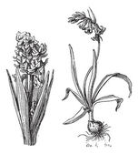 Hyacinth, Bluebell, vintage engraving. — ストックベクタ