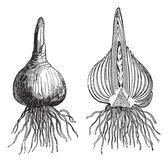 Hyacinth whole onion, Hyacinth cut onion, vintage engraving. — Stock Vector
