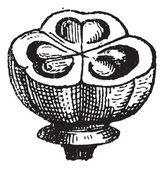 Muscari, vintage engraving. — Stock Vector