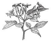 Jasmine or Jasminum, vintage engraving. — Stock Vector