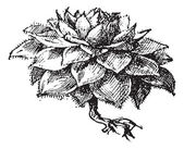 Houseleek or Sempervivum sp., vintage engraving — Stock Vector