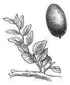 Jujube or Ziziphus zizyphus, vintage engraving. — Stock Vector