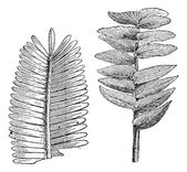 Jurassic age, Pterophyllum jaegeri, otozamites decorus, vintage — Stock Vector