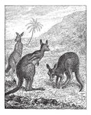 Kangaroo, vintage engraving. — Stock Vector