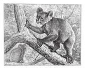 Koala, vintage engraving. — Stock Vector