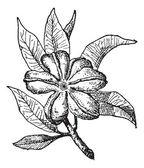 Cola or Cola sp., vintage engraving — Stock Vector