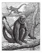 Humboldt's Woolly Monkey or common woolly monkey, vintage engrav — Stock Vector