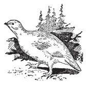 Ptarmigan bird, vintage engraving. — Stock Vector