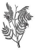 Nere or Parkia biglobosa, vintage engraving — Stock Vector