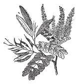 Logwood or Haematoxylum campechianum, vintage engraving — Stock Vector