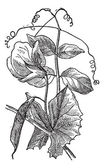 Pea or Pisum sativum, vintage engraving — Stock Vector