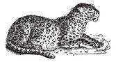 Leopard or Panthera pardus, vintage engraving — Stock Vector