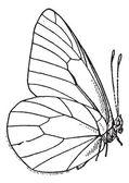 Nachtvlinder of lepidoptera, vintage gravure — Stockvector