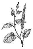 Lizard's Tail or Saururus cernuus, vintage engraving — Stock Vector