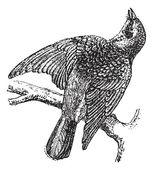 Fieldfare or Turdus pilaris, vintage engraving — Stock Vector