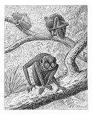 Red Slender Loris or Loris tardigradus, vintage engraving — Stock Vector