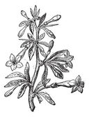 Wolfberry (Lycium europaeum) or goji berry flower and plant, vin — Cтоковый вектор