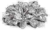 Ensalada de maíz o valerianella locusta, vintage grabado — Vector de stock