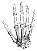 Bones of a Human Hand, vintage engraving — Vector de stock