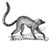 Lemur or Lemur sp., vintage engraving — Stock Vector