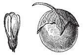 Mandrake or Mandragora sp., vintage engraving — Vetor de Stock