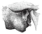 Human Mastoid Process, vintage engraving — Stock Vector