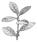 Yerba Mate or Ilex paraguariensis, vintage engraving — Stock Vector
