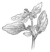 Maurelle o chrozophora tinctoria, vintage grabado — Vector de stock