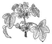 Common mallow nebo malva sylvestris, vintage gravírování — Stock vektor