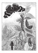 Red Admiral or Vanessa atalanta, vintage engraving — Stockvektor