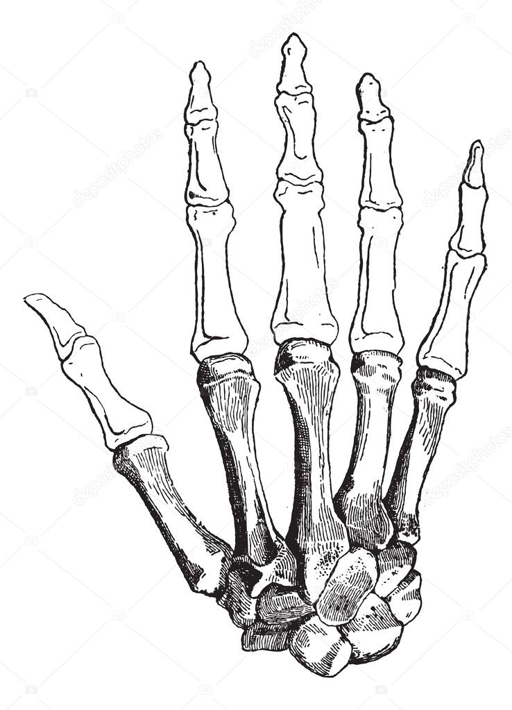 Bones of a Human Hand (dorsal side), showing (bottom to top) Carpals, Metacarpals, Proximal Phalanges, Intermediate Phalanges, and Distal Phalanges, vintage engraved illustration. Dictionary of Words and Things - Larive and Fleury - 1895 — Stock Vector #11008099