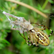 Wasp Spider preying at grasshopper. Argiope bruennichi - Stock Photo