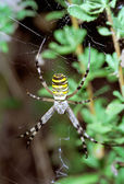 Wasp Spider hanging on web. Argiope bruennichi — Stock Photo