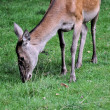 roe deer — Stock Photo