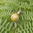 Garden Snail on Fern — Stock Photo #11063078