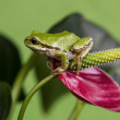 Tree Frog and Red Flower — Stock Photo