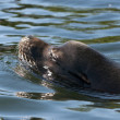Sea Lion — Stock Photo #11020480